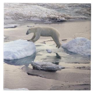 L'Asie, Russie, Arctique sibérien. Ours blanc Grand Carreau Carré