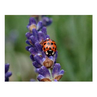 Lavande d'amours de Ladybird Carte Postale