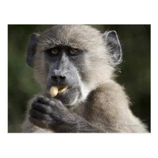 Le babouin de Chacma juvénile (ursinus de Papio) Cartes Postales