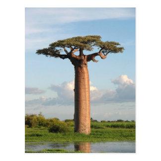 Le baobab Madagascar de Grandidier Carte Postale