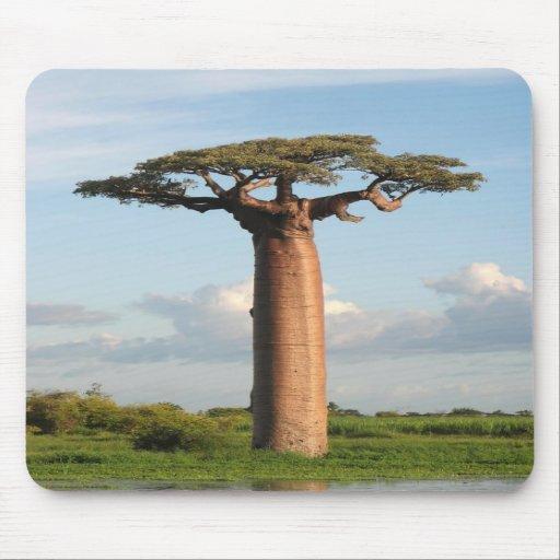 Le baobab Madagascar de Grandidier Tapis De Souris