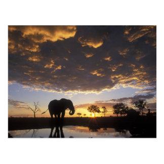 Le Botswana, parc national de Chobe, éléphant Carte Postale