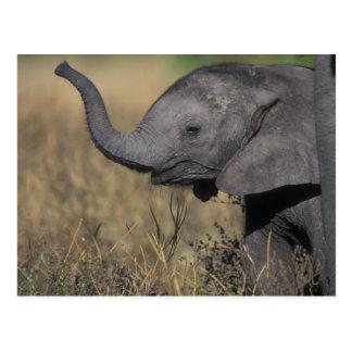 Le Botswana, parc national de Chobe, jeune Carte Postale