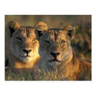 Le Botswana, parc national de Chobe, lionnes Carte Postale