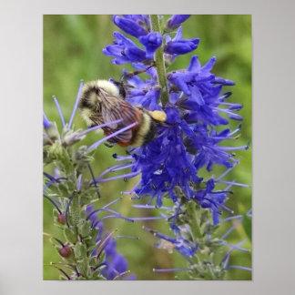 Le bourdon recueille le pollen sur des fleurs poster