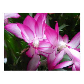 Le cactus de Noël fleurit la carte postale