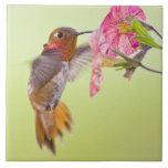Le Canada, Colombie-Britannique, colibri Rufous Carreaux