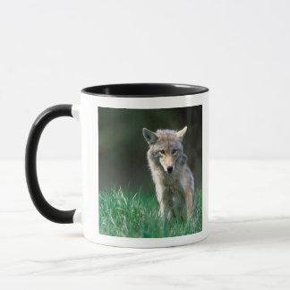 Le Canada, Colombie-Britannique, coyote (latrans Mug