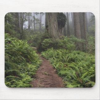 Le chemin à travers les arbres géants de séquoia a tapis de souris