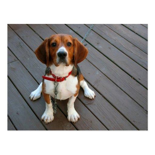 Le chien de beagle le plus mignon jamais cartes postales