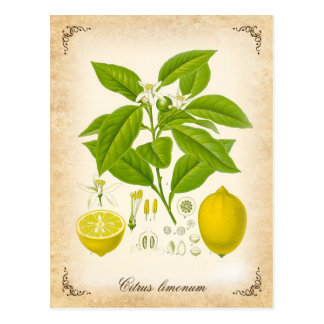 Le citron - illustration vintage carte postale