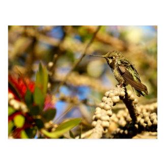 Le colibri d'Anna féminine, la Californie, photo Cartes Postales