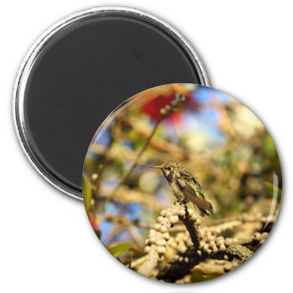 Le colibri d'Anna féminine, la Californie, photo Magnet Rond 8 Cm