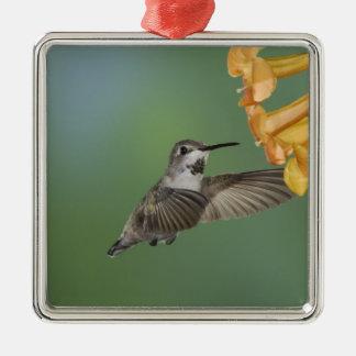 Le colibri de la côte, costae de Calypte, jeunes Ornement Carré Argenté
