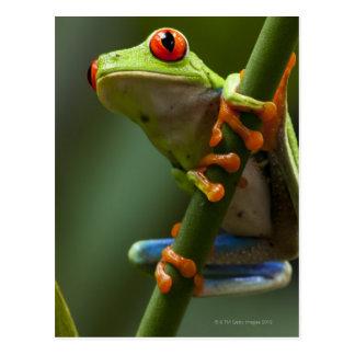 Le Costa Rica, Monteverde, grenouille d'arbre aux Carte Postale