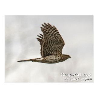 Le faucon du tonnelier carte postale