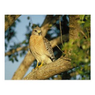 le faucon rouge-épaulé, lineatus de Buteo, se Carte Postale