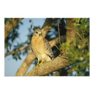 le faucon rouge-épaulé, lineatus de Buteo, se repo Photo