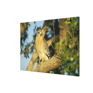le faucon rouge-épaulé, lineatus de Buteo, se repo Toiles Tendues