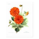 Le feu orange King de dahlia ' Carte Postale