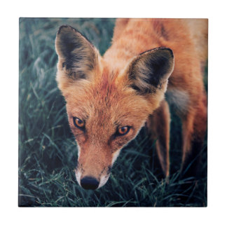 Le Fox rouge Carreau