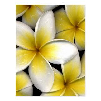 le frangipani blanc et jaune fleurit avec le carte postale