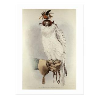 Le Groenlandais, Faucon Blanc Mue, du 'Traite De Carte Postale