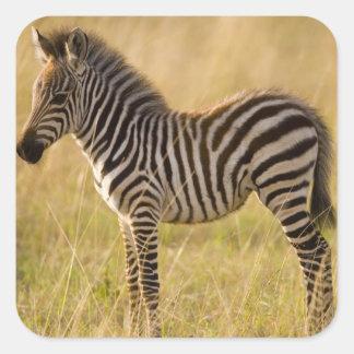 Le jeune raffine le quagga d'Equus de zèbre) dans Sticker Carré