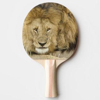 Le Kenya, masai Mara. Deux lions reposant le Raquette Tennis De Table
