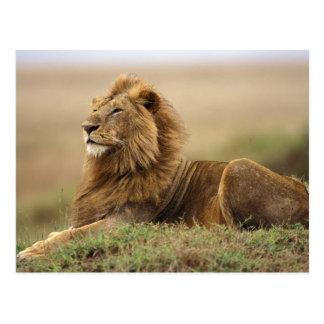 Le Kenya, masai Mara. Lion de mâle adulte sur le Carte Postale