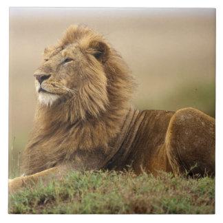 Le Kenya, masai Mara. Lion de mâle adulte sur le t Grand Carreau Carré