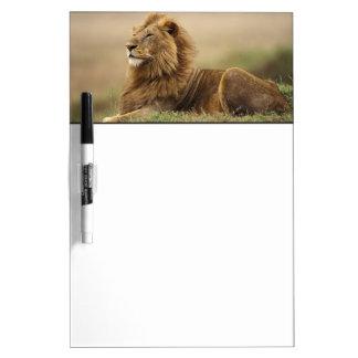 Le Kenya, masai Mara. Lion de mâle adulte sur le Tableaux Effaçables À Sec