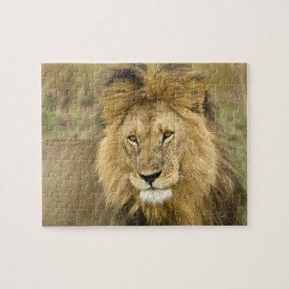 Le Kenya, masai Mara. Plan rapproché de lion. Créd Puzzle