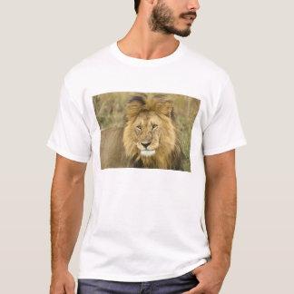 Le Kenya, masai Mara. Plan rapproché de lion. T-shirt