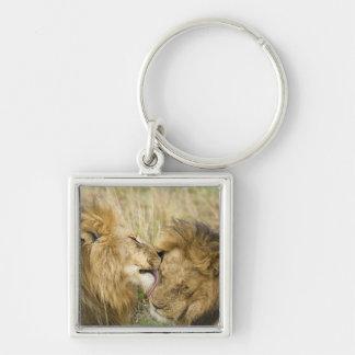Le Kenya, masai Mara. Plan rapproché d'un lion mas Porte-clé Carré Argenté