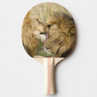 Le Kenya, masai Mara. Plan rapproché d'un lion Raquette Tennis De Table