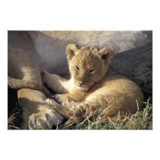 Le Kenya, masai Mara. Vieux petit animal de lion d Impressions Photo