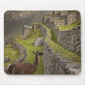 Le lama se tient sur les terrasses agricoles avec tapis de souris