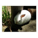 Le lapin rêve des cartes postales