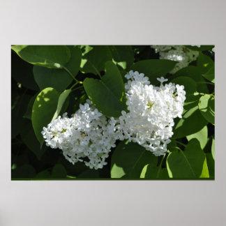 Le lilas blanc fleurit l'affiche poster