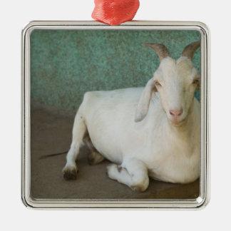 Le Nicaragua, Grenade. Chèvre se reposant sur le Ornement Carré Argenté