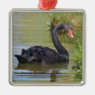 Le noir a nagé sur l'eau ornement carré argenté