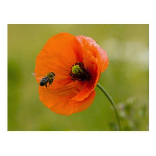 Le pavot avec l'abeille carte postale