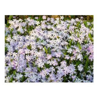 Le Phlox de rampement fleurit la carte postale
