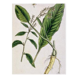 """Le raifort, plaquent 415 """"d'un de fines herbes carte postale"""