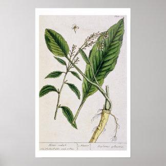 """Le raifort, plaquent 415 """"d'un de fines herbes cur posters"""