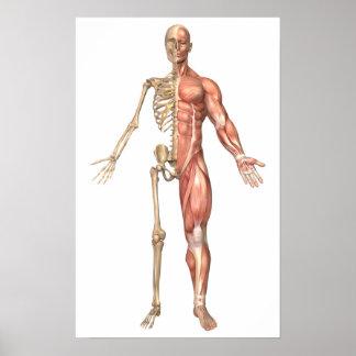 Le squelette humain et le système musculaire, posters