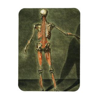 Le système musculaire profond du dos du corps, pla magnet en vinyle
