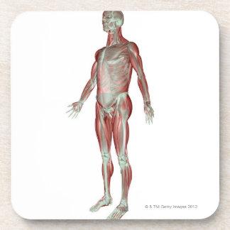 Le système ostéomusculaire 3 dessous-de-verre