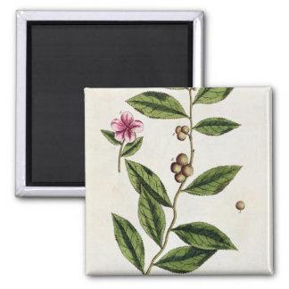 """Le thé vert, plaquent 351 """"d'un de fines herbes cu magnet carré"""